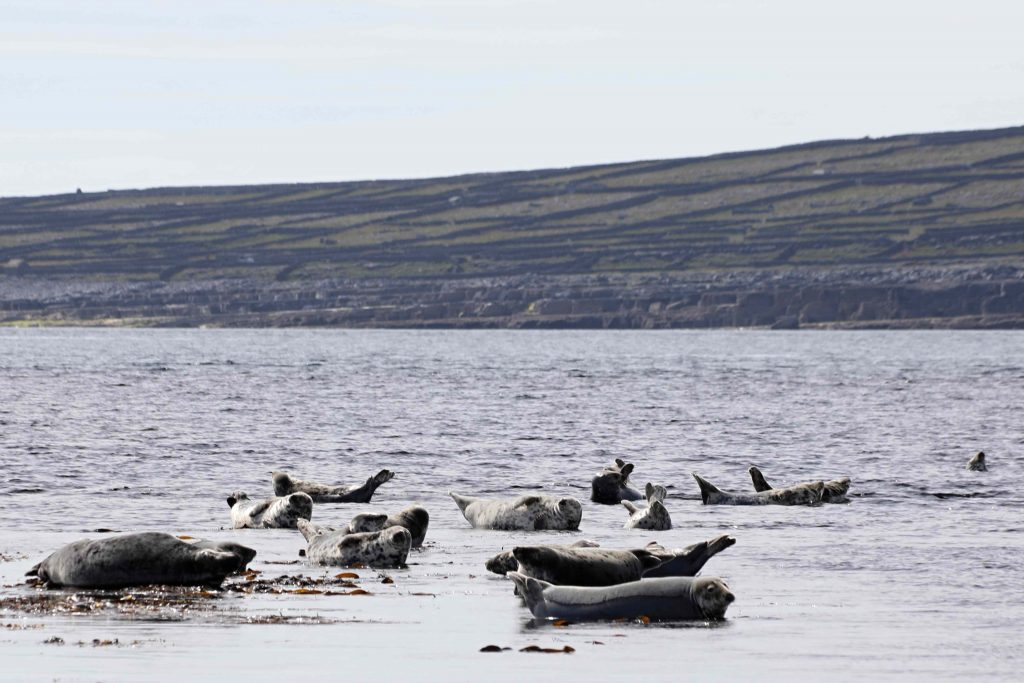 Sunbathing seals at low tide off Inis Oírr